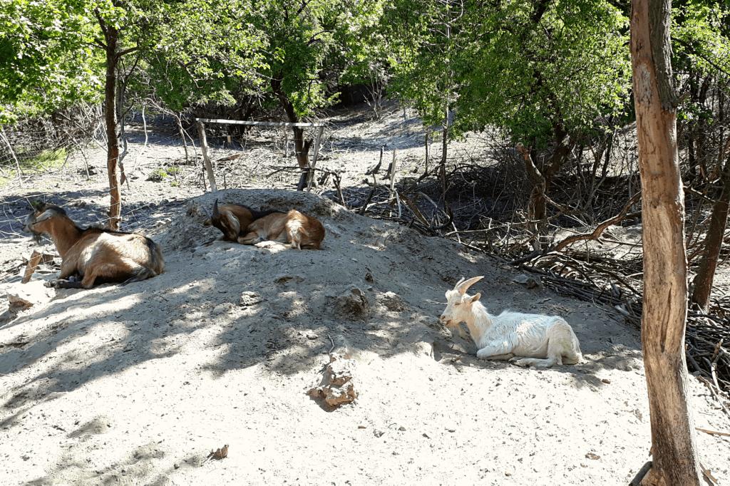 Weitov lom kozy