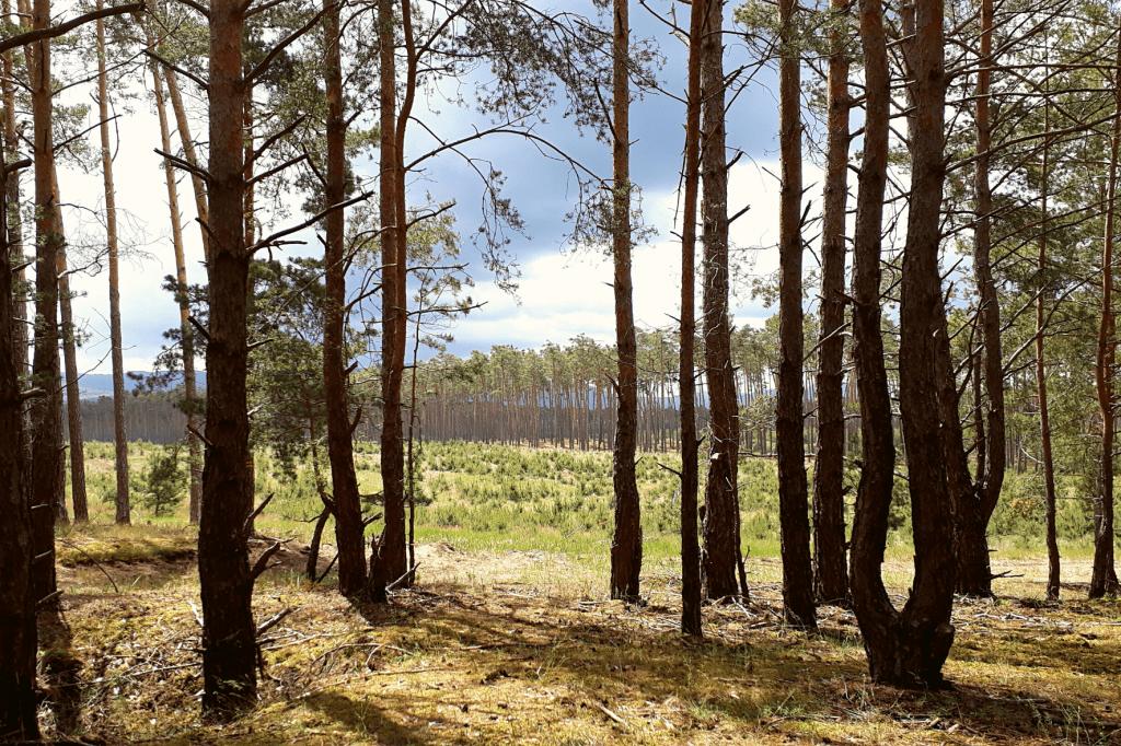 Šranecké piesky borovice