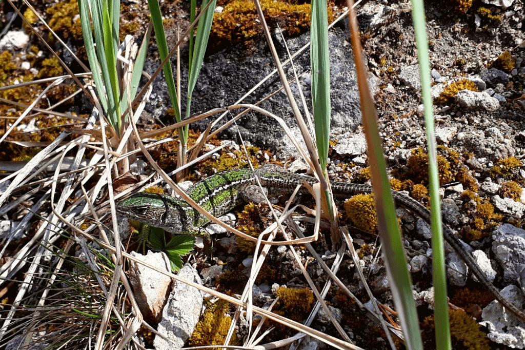 Šranecké piesky jašterica