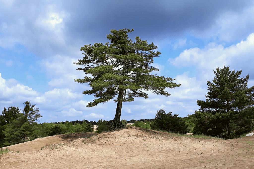 Šranecké piesky strom