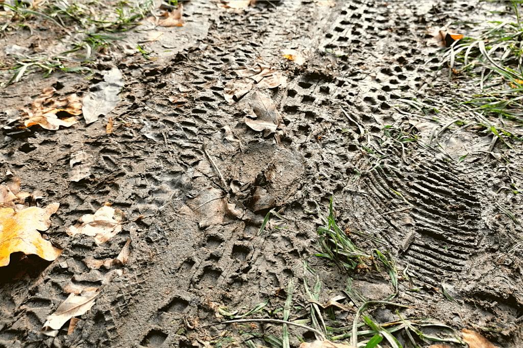 Jarovska Bazantica stopa