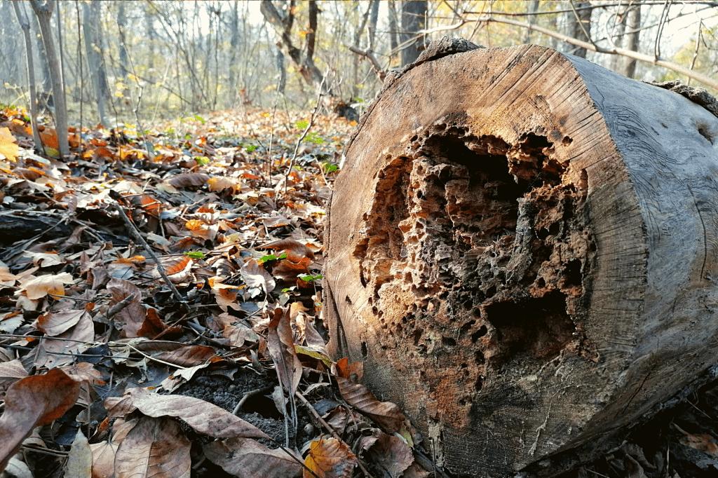 Jarovska Bazantica strom